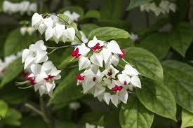 madagascar native plants 19 best pergola plants climbing plants for pergolas and arbors