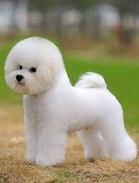 bichon frise dog pictures bichon frise opawz com supply pet hair dye pet hair chalk pet