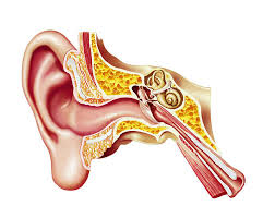Ear Anatomy Pictures Human Ear Pictures Images And Stock Photos Istock