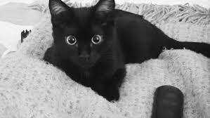 humane society black friday seattle humane offers free black cats for black friday komo