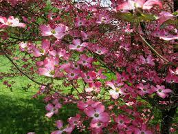 28 red dogwood flower gallery for gt red dogwood flower