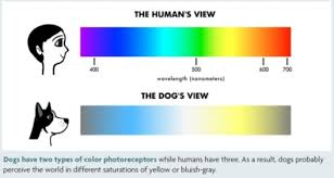 Colors That Color Blind Can See Dogs Are Not Color Blind Corgi Dogs