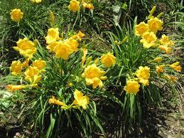 stella daylily stella de oro daylily grimm s gardens