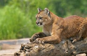 North Dakota Wildlife images North dakota lowers mountain lion quota grand view outdoors jpg