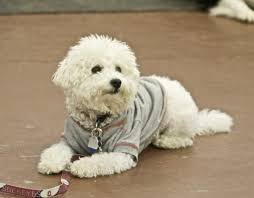 bichon frise kentucky 7 kg bichon frise 7 best dogs images on pinterest poodle mix