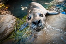 atlantic harbor seals exhibit new england aquarium
