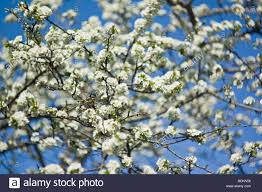 Trees With White Flowers Blooming Plum Tree With White Flowers On Blue Sky Background Soft