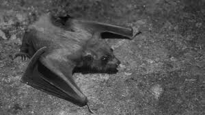 small bat small bat free stock photo domain pictures