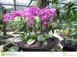 potted pink orchid garden arrangement in singapore stock images