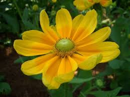 1687 best yellow flowers images on pinterest yellow flowers