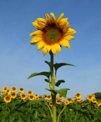 sunflower pictures sunflower natura kart