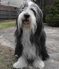 bearded collie montreal griffin bearded collie