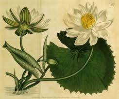 Lotus Flower Parts - nymphaea lotus wikipedia