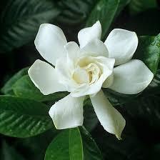 Most Fragrant Jasmine Plant - 63 best highly fragrant flowers images on pinterest flowers