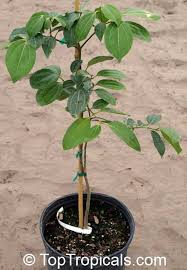 featured plant a special for your collection toptropicals