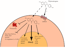 ijms free full text phytochemicals targeting estrogen