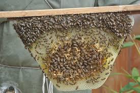 honey from my backyard