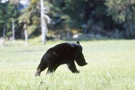 running bear blank template imgflip