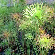 papyrus marginal pond plants swan valley fish and