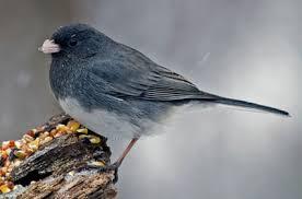 Nj Backyard Birds by Dark Eyed Junco Identification All About Birds Cornell Lab Of
