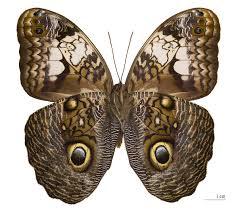 owl butterfly wikipedia