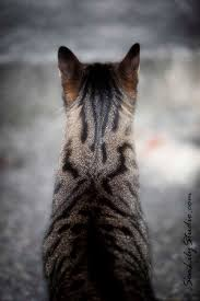 henry u0027s head cat photo meow animal pet photography tabby
