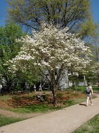 white flowering dogwood flowering dogwood4 jpg