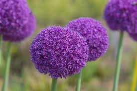 allium ambassador ornamental