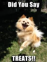 Pomeranian Meme - 31 best pomeranians images on pinterest pomeranians pom poms