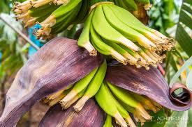 a banana plantation on madeira u2022 waltzing meurers