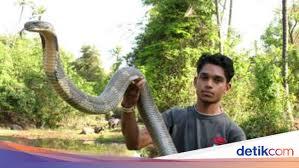 foto penemuan ular king cobra raksasa dari penjuru dunia