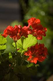 The Geranium On The Windowsill Just Died Pruning Geraniums How To Pinch Geraniums For Better Growth
