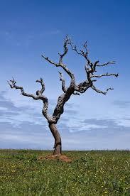 dead oak tree search trees oak tree