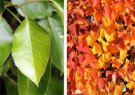 callery pear pyrus calleryana master gardener program