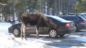 colorado skiers warned to look out for moose on slopes
