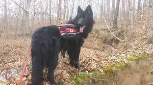 belgian sheepdog south africa my black german shepherd aww