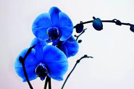 blue orchids blue orchid wallpaper wallpapersafari flower