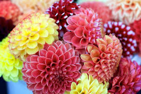 dahlias flowers flower dahlias flowers yellow flower dahlia orange wallpapers