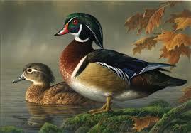 ducks wild animal wild life
