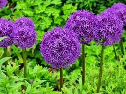 a with alliums ornamental onions here by design
