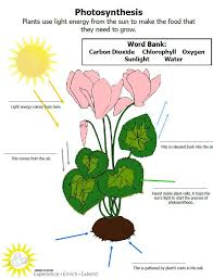 best 25 photosynthesis activities ideas on pinterest plant