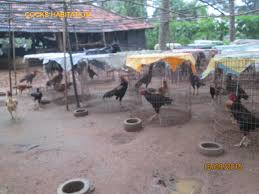godavari backyard poultry farm agricultureinformation com