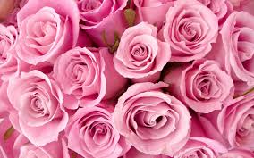 pink color images pink hd wallpaper and background photos 10579442 photos for hdrose wallpaper hd desktop pink rose full pics