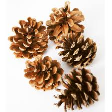 white pine cone buy natural pine cones tts