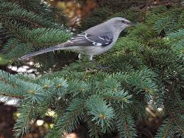 South Carolina birds images Mockingbird jpg jpg