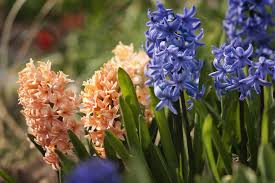 Hyacinth Flower Planting Growing And Caring For Hyacinth Bulbs