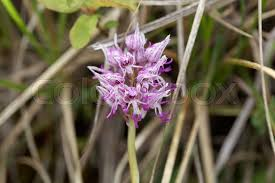 monkey orchid flower of the monkey orchid orchis simia a orchid in