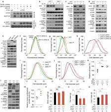 hsf1 critically attunes proteotoxic stress sensing by mtorc1 to