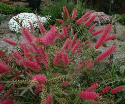 angus u0027s top ten australian plants for clay soils gardening with