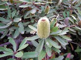 australian native climbing plants australian native plants a year in a gippsland garden